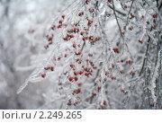 Купить «Заледеневшая рябина. Последствия ледяного дождя в Москве», фото № 2249265, снято 28 декабря 2010 г. (c) Наталья Волкова / Фотобанк Лори
