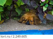 Купить «Пекинес на клумбе», фото № 2249605, снято 14 августа 2010 г. (c) Владимир Шеховцев / Фотобанк Лори