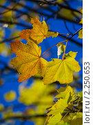 Купить «Осенний клён», фото № 2250653, снято 10 октября 2010 г. (c) Александр Артемьев / Фотобанк Лори