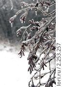 Купить «Обледенелые ветви и листья березки после ледяного дождя», эксклюзивное фото № 2253257, снято 27 декабря 2010 г. (c) lana1501 / Фотобанк Лори