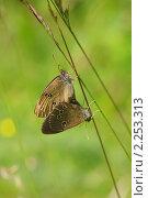 Купить «Летняя зарисовка. Бабочки глазок цветочный.», фото № 2253313, снято 27 июня 2010 г. (c) Икан Леонид / Фотобанк Лори