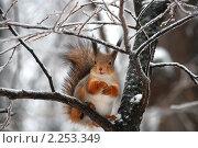 Рыжая белочка на ветках зимой. Стоковое фото, фотограф lana1501 / Фотобанк Лори