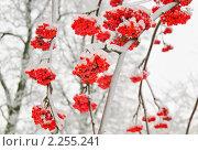 Купить «Ягоды рябины обыкновенной (Sorbus aucuparia) на ветке зимой», эксклюзивное фото № 2255241, снято 27 декабря 2010 г. (c) Алёшина Оксана / Фотобанк Лори