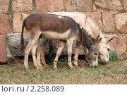 Купить «Пара стреноженных ослов», фото № 2258089, снято 3 декабря 2010 г. (c) Вера Тропынина / Фотобанк Лори