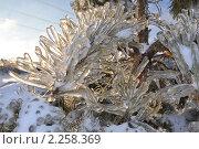 Купить «Ледяные иголки сосны», фото № 2258369, снято 30 декабря 2010 г. (c) Светлана Поцелуйкина / Фотобанк Лори