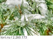 Купить «Обледенелая хвоя на ветке сосны», фото № 2260173, снято 4 января 2011 г. (c) Parmenov Pavel / Фотобанк Лори