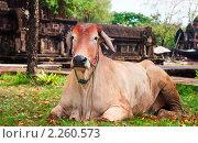 Портрет рыжей рогатой коровы, которая лежит около макета кхмерского храма в Древнем Городе, Бангкок, Таиланд. Стоковое фото, фотограф Николай Винокуров / Фотобанк Лори