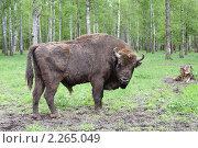 Зубр (2008 год). Редакционное фото, фотограф Денис Трубецкой / Фотобанк Лори