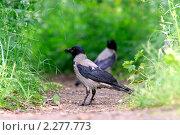 Купить «Вороны в траве», фото № 2277773, снято 16 июня 2008 г. (c) Владимир Борисов / Фотобанк Лори