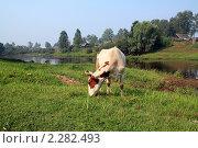 Купить «Корова», фото № 2282493, снято 8 августа 2010 г. (c) Сергей Яковлев / Фотобанк Лори