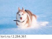 Купить «Сибирский хаски бежит по глубокому снегу», фото № 2284361, снято 22 декабря 2010 г. (c) Евгений Захаров / Фотобанк Лори