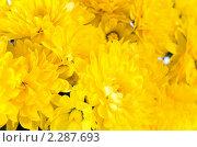 Купить «Желтые хризантемы», фото № 2287693, снято 27 октября 2010 г. (c) Юрий Брыкайло / Фотобанк Лори