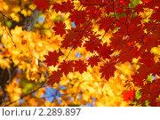 Осенние листья. Стоковое фото, фотограф Galina Zakovorotnaya / Фотобанк Лори