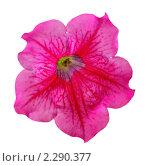 Купить «Цветок петунии», фото № 2290377, снято 28 августа 2010 г. (c) Литова Наталья / Фотобанк Лори