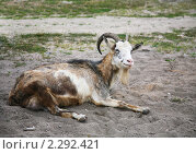 Купить «Отдыхающая коза», фото № 2292421, снято 25 июля 2010 г. (c) Наталья Волкова / Фотобанк Лори
