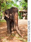 Купить «Портрет азиатского слона крупным планом, Таиланд», фото № 2292425, снято 16 декабря 2010 г. (c) Николай Винокуров / Фотобанк Лори