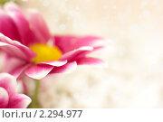 Купить «Розовая хризантема. Открытка к 8 марта.», фото № 2294977, снято 23 января 2011 г. (c) Екатерина Тарасенкова / Фотобанк Лори