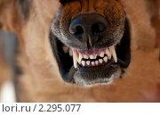 Оскал. Стоковое фото, фотограф Вадим Морозов / Фотобанк Лори