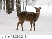 Купить «Олениха (Cervus nipon) в зимнем лесу», эксклюзивное фото № 2295249, снято 23 января 2011 г. (c) Щеголева Ольга / Фотобанк Лори