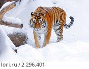 Купить «Амурский (уссурийский) тигр», фото № 2296401, снято 22 января 2011 г. (c) Михаил Борсов / Фотобанк Лори