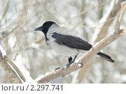 Серая ворона, сидящая на ветке. Стоковое фото, фотограф Захарова Евгения / Фотобанк Лори