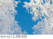 Купить «Кроны деревьев в инее на фоне голубого неба», фото № 2298429, снято 24 января 2011 г. (c) Икан Леонид / Фотобанк Лори