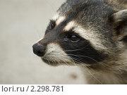 Купить «Мордочка грустного енота», фото № 2298781, снято 14 июля 2007 г. (c) Ann Perova / Фотобанк Лори