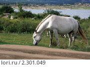 Купить «Белая лошадь пасется на берегу», фото № 2301049, снято 9 августа 2010 г. (c) Вера Тропынина / Фотобанк Лори