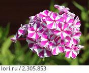 Купить «Флокс. Сорт Мишенька.», фото № 2305853, снято 4 июля 2010 г. (c) Ирина Горбачева / Фотобанк Лори