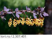 Купить «Цветущий барбарис», фото № 2307401, снято 12 мая 2010 г. (c) Сергей Семин / Фотобанк Лори
