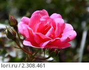 Купить «Роза», фото № 2308461, снято 20 июня 2010 г. (c) Сергей Семин / Фотобанк Лори