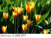 Купить «Тюльпаны», фото № 2308477, снято 28 апреля 2010 г. (c) Сергей Семин / Фотобанк Лори