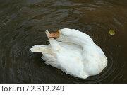 Купить «Белый гусь чистит перья», фото № 2312249, снято 29 декабря 2010 г. (c) Вера Тропынина / Фотобанк Лори