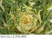 Купить «Декоративная капуста крупным планом», фото № 2316405, снято 30 августа 2009 г. (c) Losevsky Pavel / Фотобанк Лори