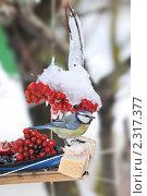 Купить «Синица  лазоревка в кормушке», фото № 2317377, снято 2 февраля 2011 г. (c) Федор Королевский / Фотобанк Лори