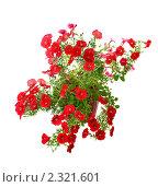Купить «Цветение петунии», фото № 2321601, снято 14 августа 2010 г. (c) Литова Наталья / Фотобанк Лори