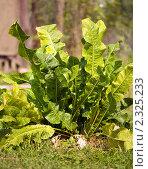 Купить «Листья хрена», фото № 2325233, снято 22 августа 2010 г. (c) Яков Филимонов / Фотобанк Лори