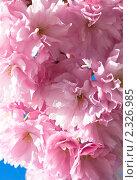 Купить «Сакура в цвету», фото № 2326985, снято 25 апреля 2010 г. (c) Юрий Брыкайло / Фотобанк Лори