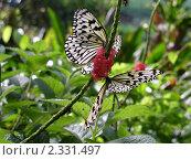 Бабочки. Стоковое фото, фотограф Баранов Александр / Фотобанк Лори