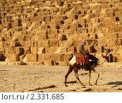 Верблюд на фоне пирамиды (2010 год). Редакционное фото, фотограф Константин Болотин / Фотобанк Лори
