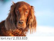 Красный ирландский сеттер. Стоковое фото, фотограф Владислав Бурнашев / Фотобанк Лори