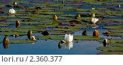Купить «Кувшинки», фото № 2360377, снято 4 июля 2008 г. (c) Тарханов Николай Алексеевич / Фотобанк Лори