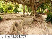Экзотическое дерево в ботаническом саду Кальяри, Сардиния (2010 год). Стоковое фото, фотограф Татьяна Крамаревская / Фотобанк Лори