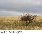 Дерево в степи. Стоковое фото, фотограф ASA / Фотобанк Лори