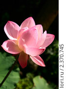Купить «Цветок лотоса крупным планом», фото № 2370745, снято 28 сентября 2010 г. (c) Юлия Бабкина / Фотобанк Лори