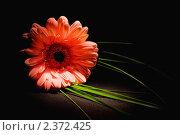 Гербера. Стоковое фото, фотограф Рыбин Евгений Евгеньевич / Фотобанк Лори
