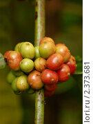 Купить «Созревающие кофейные зерна», фото № 2373681, снято 24 февраля 2011 г. (c) Юлия Севастьянова / Фотобанк Лори