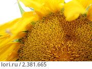 Солнечный подсолнух. Стоковое фото, фотограф Евгений Панченко / Фотобанк Лори