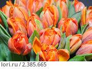 Купить «Красные тюльпаны», фото № 2385665, снято 30 января 2011 г. (c) Алёшина Оксана / Фотобанк Лори