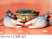 Купить «Краб», фото № 2388321, снято 2 августа 2010 г. (c) Сергей Лешков / Фотобанк Лори
